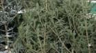 IGPR: Peste 4.000 de pomi de Crăciun, circa 8 tone de cetină şi 5.500 mc de material lemnos, confiscaţi