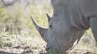 Au fost creaţi în laborator embrioni hibrizi de rinocer alb, o specie aproape extinctă