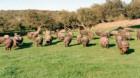 Şi în China este epidemie de pestă porcină africană
