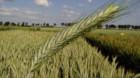 Genomul complet al grâului, decriptat pentru prima dată de cercetători