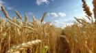 Estimările privind producţia de grâu a UE, la cel mai redus nivel din ultimii şase ani