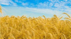 Canada va depăşi UE devenind al treilea exportator mondial de grâu