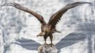 """Rarități ornitologice în colecția Muzeului Zoologic al Universității """"Babeș-Bolyai"""""""