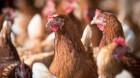 APIA Cluj face plăţi pentru bunăstarea păsărilor