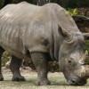 Rinocerii din Africa de Sud ar putea rămîne fără corn pentru a fi protejaţi împotriva braconierilor