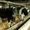 Guvern: Sprijin financiar de aproximativ 955 de milioane de lei pentru crescătorii de animale