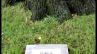 """""""Stejarul lui Avram Iancu"""", un monument al naturii vechi de peste şase secole"""