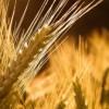 Agricultura românească: Producţie bună, productivitate sub media europeană