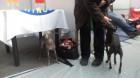 Cei mai frumoşi cîini ai Europei s-au întîlnit la Cluj-Napoca
