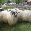 Sărbătoarea ciobanilor şi Promovarea Planului de Dezvoltare Locală în Cîmpia Transilvaniei au generat evenimentul primăverii la Mociu