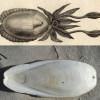 Exponatul lunii februarie la Colecţia de Istorie a Farmaciei: Os de sepia