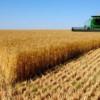 Producţii record la grîu şi rapiţă, necazuri la culturile de prorumb