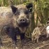 Fermieri versus vînători:  Exasperaţi de pagubele făcute de mistreţi şi urşi, fermierii ameninţă că-şi duc animalele la Bucureşti