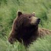Urşii şi lupii fac ravagii în zona Muntele Cacovei
