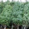 Aproape 4.000 de pomi de Crăciun confiscați de polițiști într-o săptămână