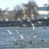 Mai multe lebede fac senzaţie în zona podului Garibaldi din Cluj-Napoca