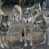 Haitele de lupi fac ravagii în județul Cluj