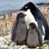 """Colonie de pinguini """"Adelie"""", descoperită în Antarctica"""