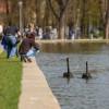 S-au întors lebedele în Parcul Central!