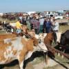 Pesta porcină africană a închis tîrgurile de animale