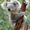 Un koala printre pasagerii unui zbor spre Scoţia
