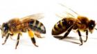 """Apicultorul Aron Stoica: """"De ce mor albinele""""(I)"""